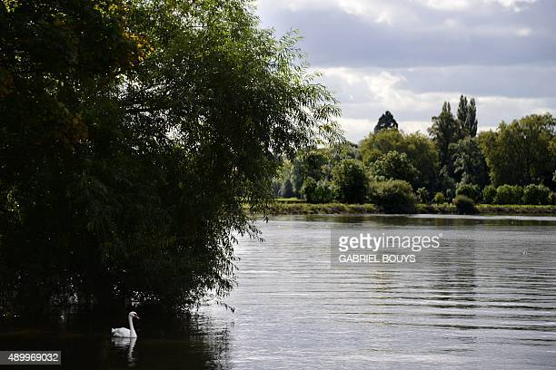 A swan glides down the river Thames in Richmond west London on September 25 2015 BOUYS