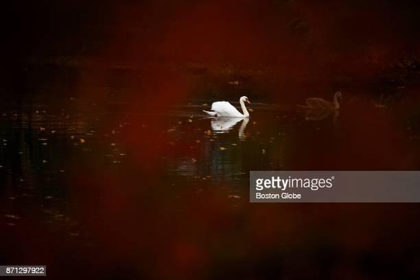 A swan glides on the Mystic River in Medford MA on Nov 6 2017