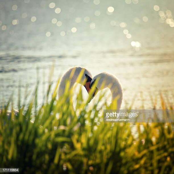 swan cuore