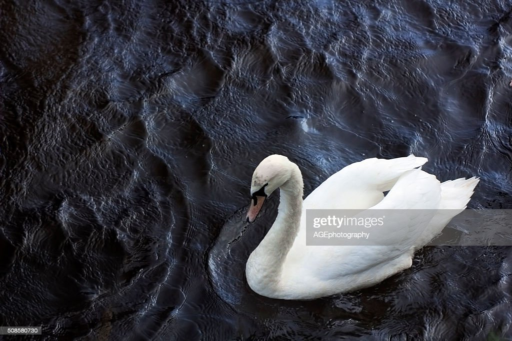 Swan in a dark dimply water : Stock Photo