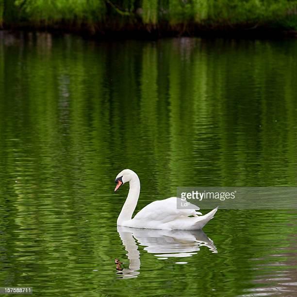 Swan in un lago