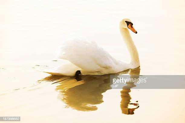 Swan in un lago con riflessioni sull'acqua