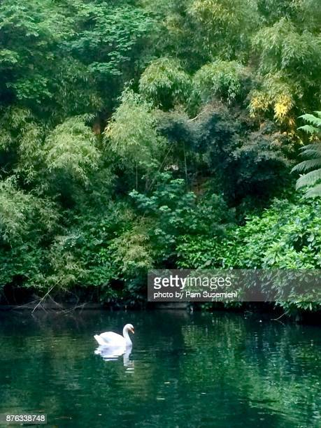 Swan in Buçaco Forest in Luso, Portugal