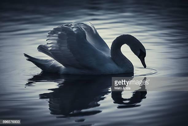 Swan in silhouette