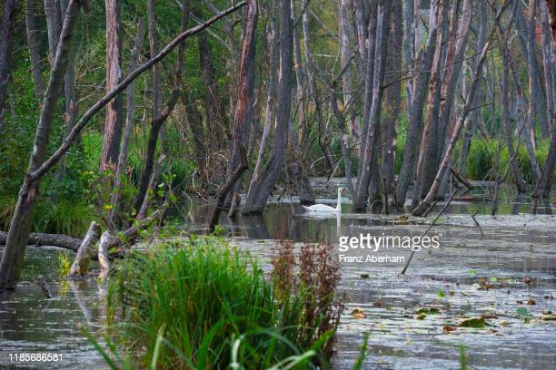 swan in swampy terrain, biosphere reserve spreewald - spreewald stock pictures, royalty-free photos & images