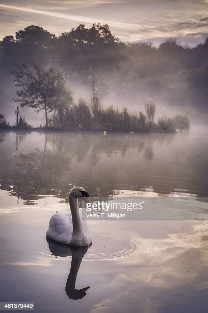swan in the morning mist - northamptonshire stock pictures, royalty-free photos & images