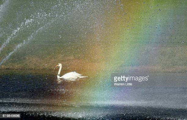 A swan is pictured in a lake by the 18th hole ahead of the Turkish Airlines Open held at the Regnum Carya Golf Spa Resort on November 1 2016 in...