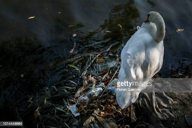 A swan is pictured next to waste on August 09 2018 in Berlin Germany