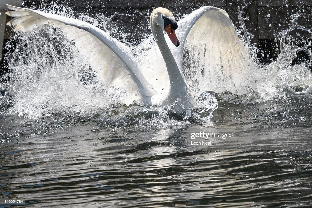 A swan is released back onto the river during the annual Swan Upping census on July 17, 2017 on the River Thames, South West London. The historic Swan Upping ceremony dates back to the 12th century, to when the Crown claimed ownership of all Mute Swans and they were eaten at banquets and feasts. The Sovereign's Swan Marker, David Barber, counts the number of young cygnets on the river each year and ensures that the swan population is maintained. The swans and young cygnets are also assessed for any signs of injury or disease. A Mute Swan is measured before being released back onto the river during the annual Swan Upping census on July 14, 2014 on the River Thames, South West London.