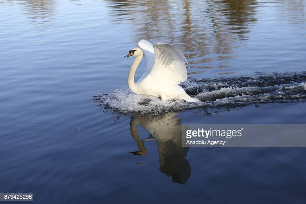 A swan is seen at Hyde Park during the last days of autumn on October 26 2017 in London England