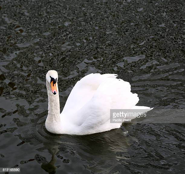 A swan is seen swimming in the dead Vistula It is a branche of the Vistula flowing through the city of Gdask in northern Poland
