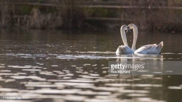 swan kiss - i love you frase em inglês - fotografias e filmes do acervo