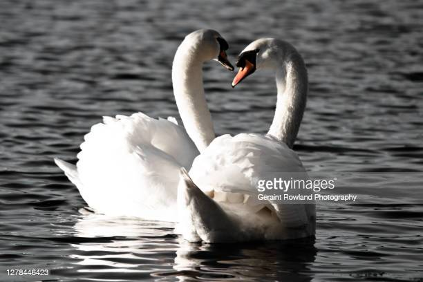 swan lake - love magazine stock pictures, royalty-free photos & images