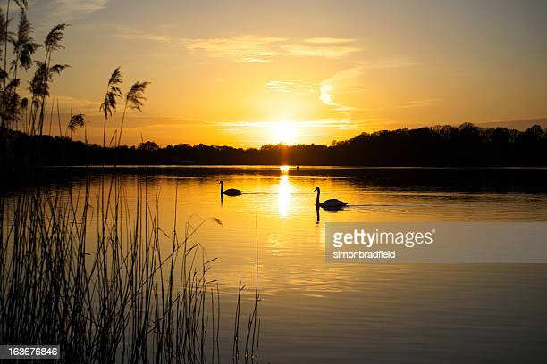 swan lake - surrey england stock pictures, royalty-free photos & images