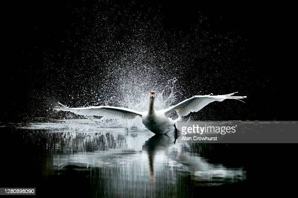 Swan lands in the lake in the centre of the course at Kempton Park Racecourse on October 18, 2020 in Sunbury, England. Owners are allowed to attend...
