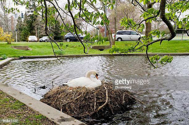 A swan lays on it's nest at Town Pond in East Hampton New York US on Saturday May 3 2008 With the weak dollar and lure of beaches international...
