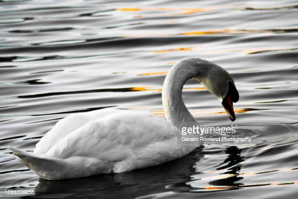 swan love - berkshire england stock pictures, royalty-free photos & images