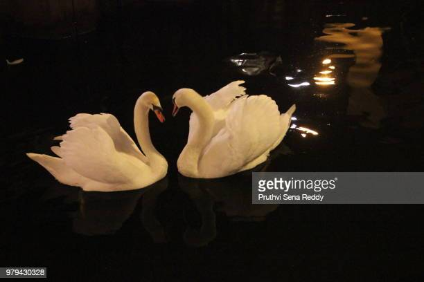 swan love - freshwater bird stock photos and pictures