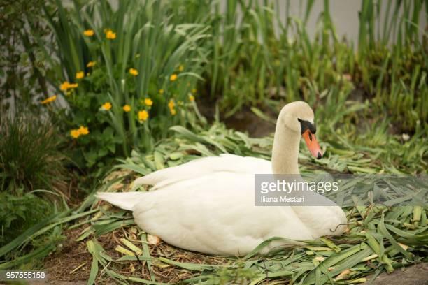 A swan nesting