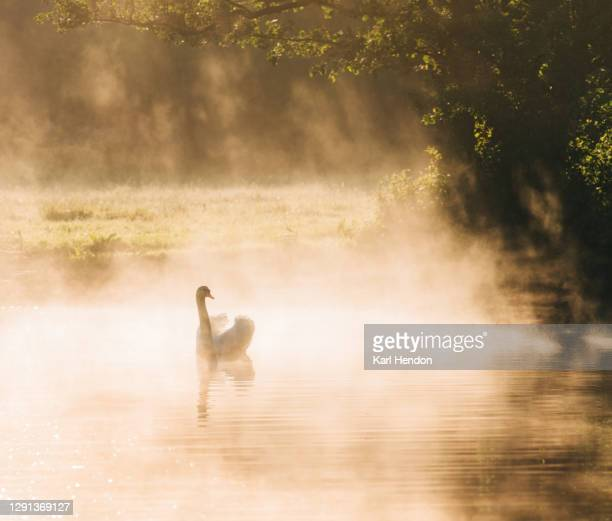 a swan on a canal at sunrise - stock photo - wildlife stock pictures, royalty-free photos & images