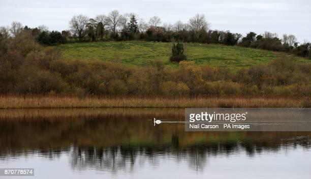 A swan on a lake in Virginia Co Cavan