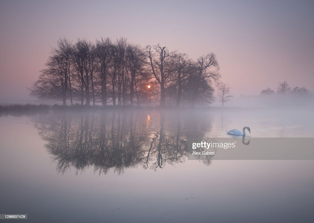 A swan on a misty lake. : Stock Photo