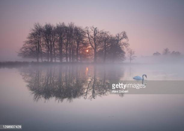a swan on a misty lake. - alex saberi stock pictures, royalty-free photos & images