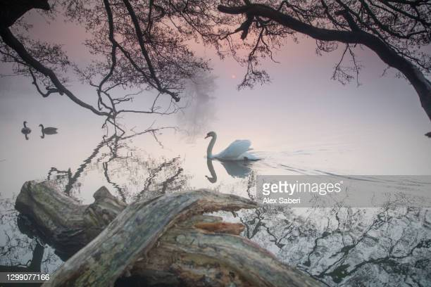 a swan on a misty lake. - alex saberi stock-fotos und bilder