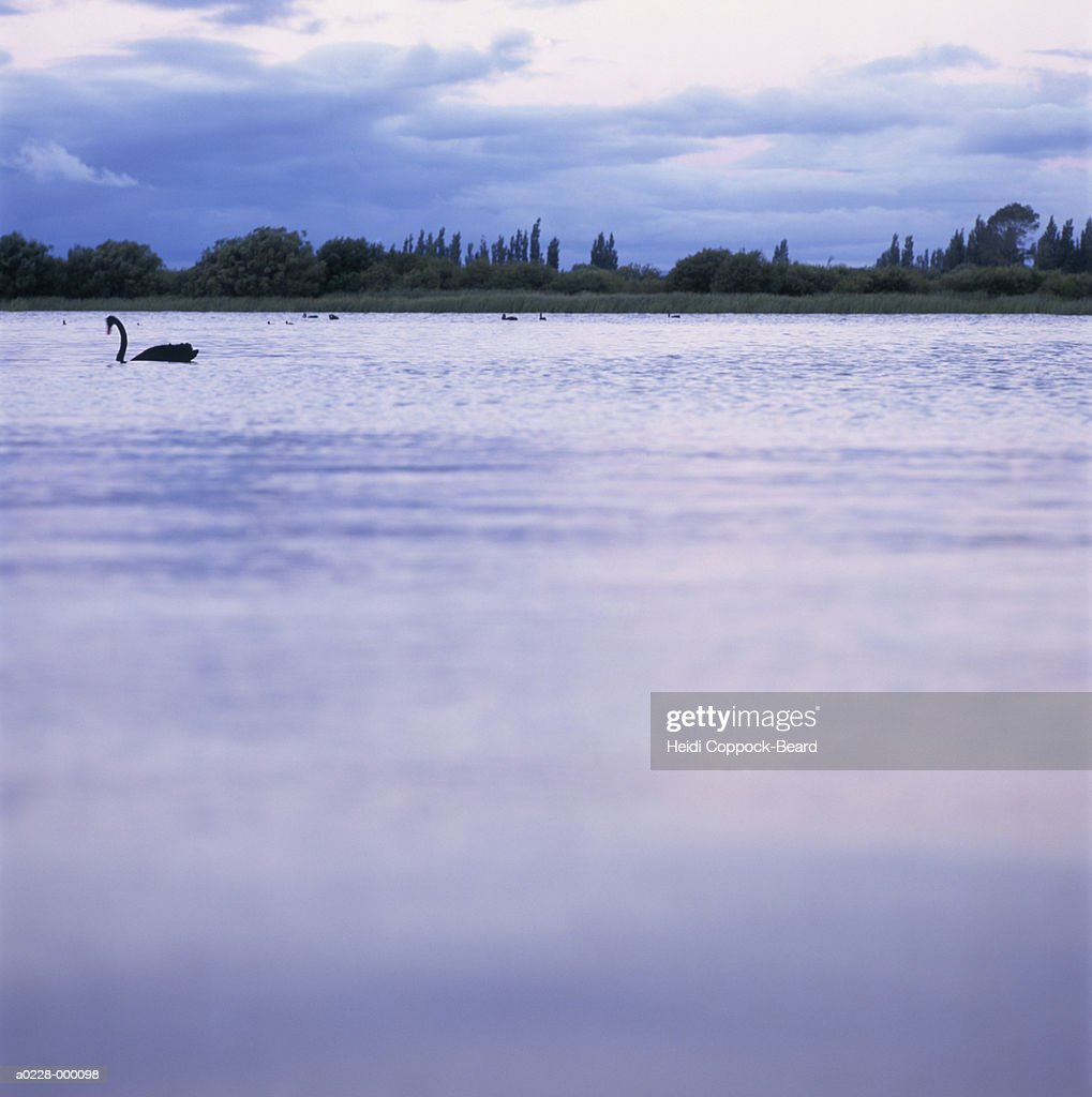 Swan on Lake at Sunset : Stock Photo