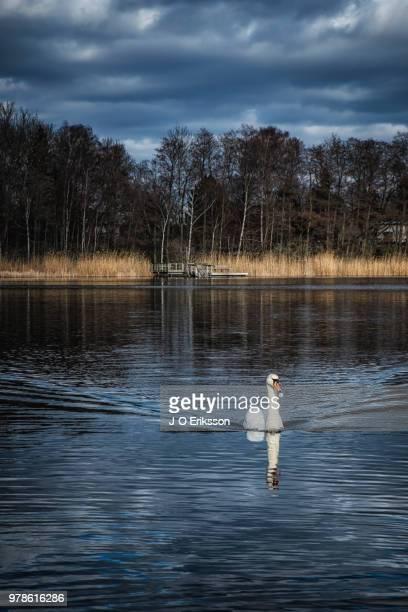 swan on lake - jo wilder stock-fotos und bilder