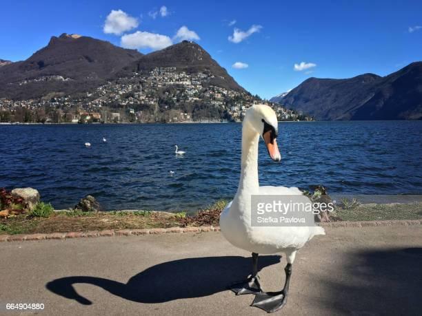 Swan on Lugano lake