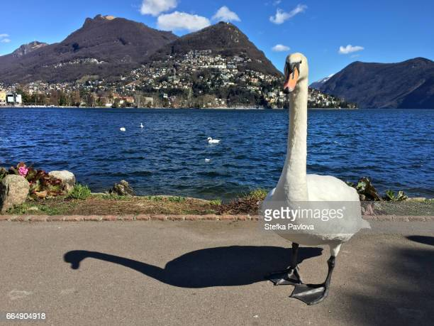 Swan on Lugano lake