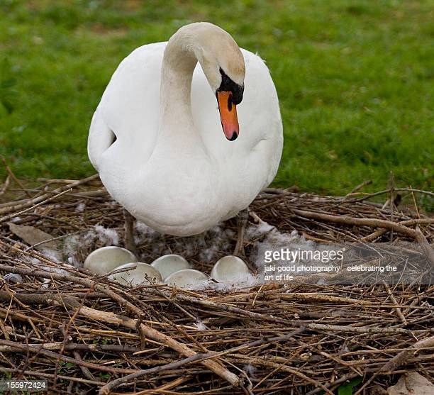 swan on nest of eggs