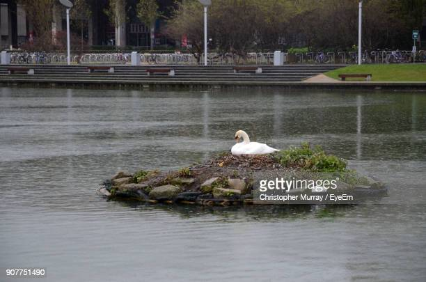 Swan On Rock Amidst Lake
