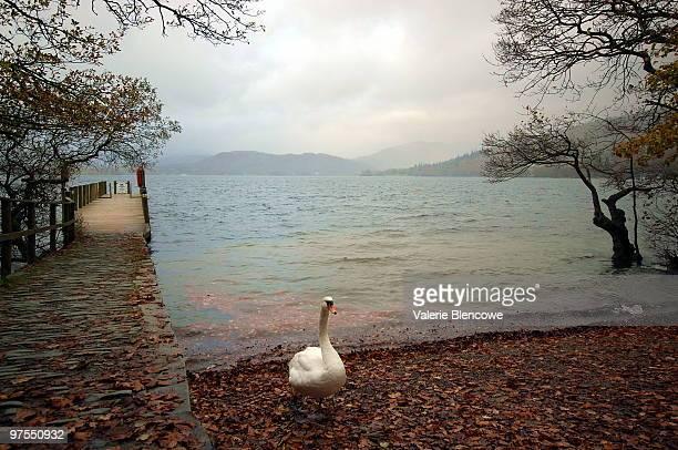 Swan on the Shore of Lake Windermere, Cumbria, UK