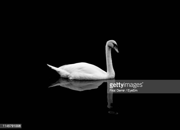 swan perching against black background - swan stock pictures, royalty-free photos & images