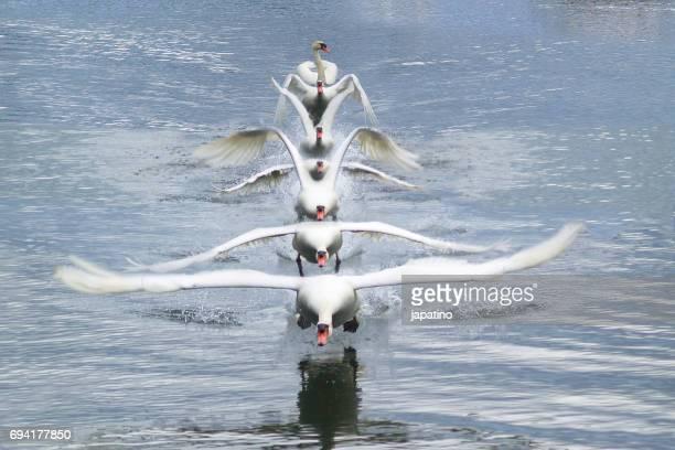 Swan photos taking off