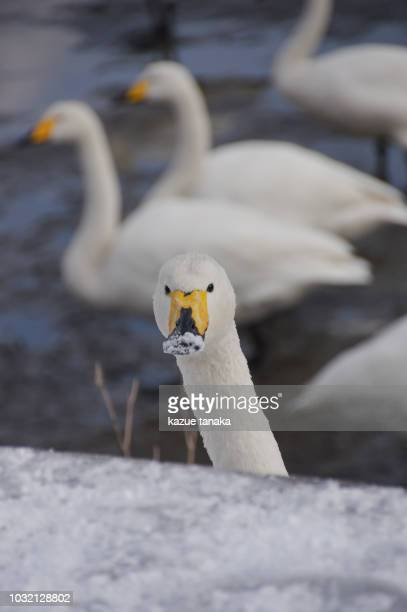 swan - freshwater bird stock photos and pictures