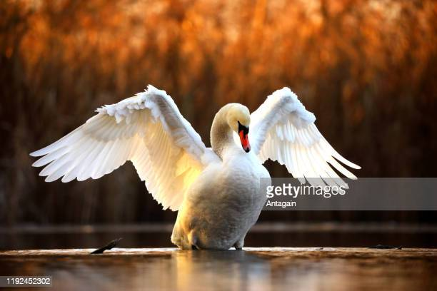 swan - animal wing stock pictures, royalty-free photos & images