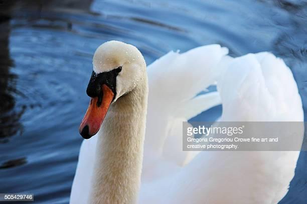 swan - gregoria gregoriou crowe fine art and creative photography. bildbanksfoton och bilder