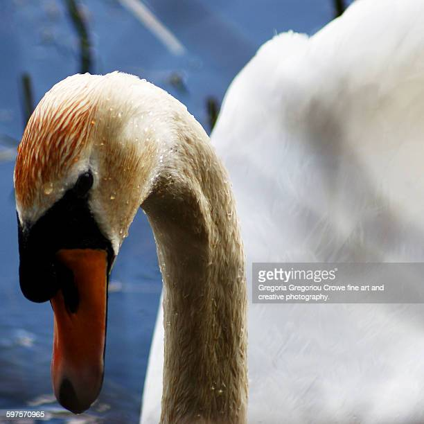 swan - gregoria gregoriou crowe fine art and creative photography stock pictures, royalty-free photos & images