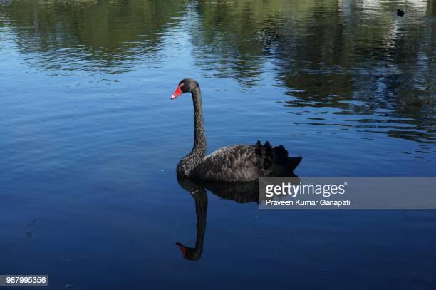 swan - コクチョウ ストックフォトと画像