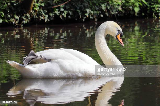 swan - swan stock pictures, royalty-free photos & images