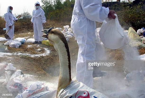 A swan reacts to a disinfectant powder laid on the grounds by workers in protective gear in Chaoan township 03 February 2004 in southern China's...
