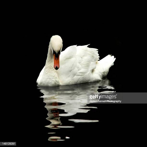 swan reflection - alyson fennell stock pictures, royalty-free photos & images