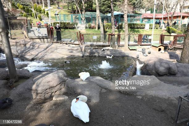 A swan sits in its enclosure at the Kecioren Municipality Pet Park in Ankara on March 14 2019