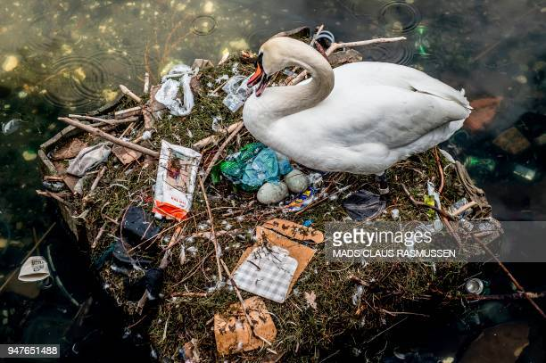 A swan sits in its nest in a lake near Queen Louise's Bridge in central Copenhagen Denmark on April 17 2018 The swan's nest is partly made out of...