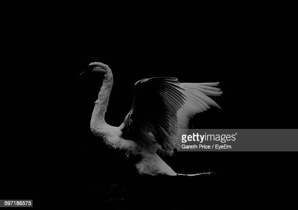 swan spreading wings against black background - swan stock pictures, royalty-free photos & images