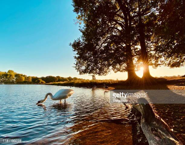 swan standing in lake drinking, richmond park, london, united kingdom - richmond park stock pictures, royalty-free photos & images