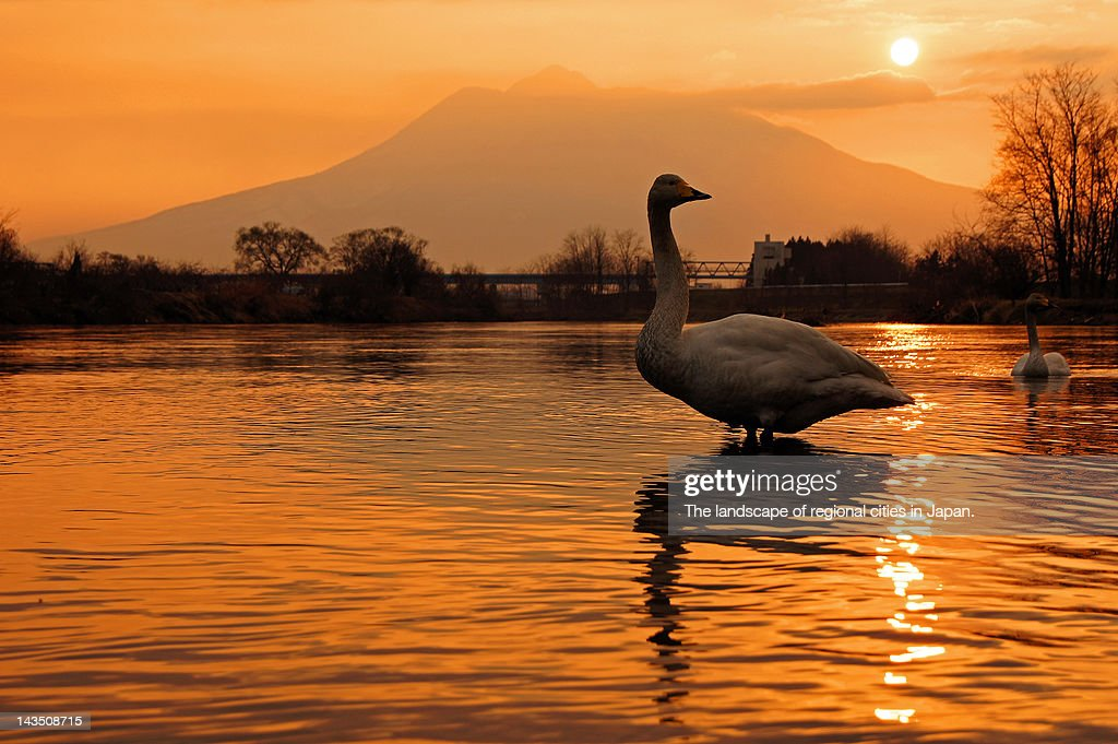 Swan standing in water at sunset : Stock Photo